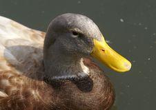 Free Duck Stock Image - 2101181