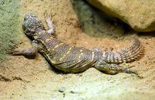 Free Lizard Stock Image - 2101191