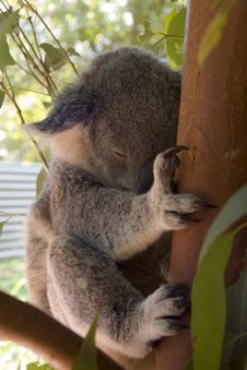 Free Koala Bear Stock Photos - 2102623