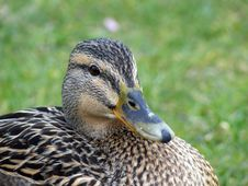 Mallard Duck Closeup Royalty Free Stock Images