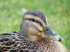 Mallard Duck Closeup Stock Photo