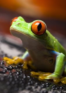 Free Red Eye Frog Stock Photography - 2103692