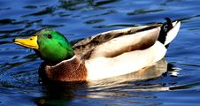 Free Swimming Duck Royalty Free Stock Photos - 2104288