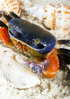 Free The Crab With The Shells Royalty Free Stock Photos - 2104358