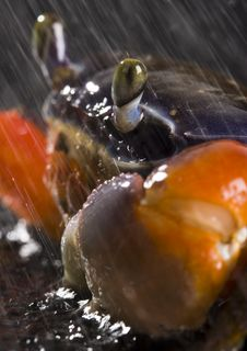Free Crab In The Rain Royalty Free Stock Image - 2104506