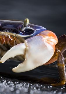 Free Crab Stock Images - 2104564