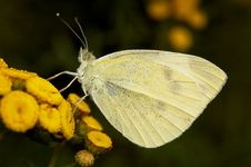 Free Pieris Napi Royalty Free Stock Image - 2104586