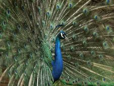 Free Peacock Stock Images - 2106314
