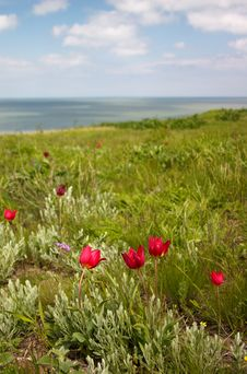 Tulips On The Seaside Royalty Free Stock Photo