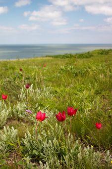 Tulips On The Seaside