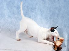 Free Bullterrier Game Royalty Free Stock Images - 2107239