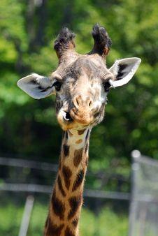 Free Giraffe Stock Images - 2108024