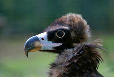 Free Bird Of Pray. Royalty Free Stock Photography - 2108067