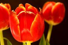 Free Tulips Stock Photo - 2108450
