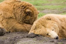 Free Kodiak Brown Bears Sleeping Royalty Free Stock Image - 2108706