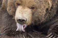 Free Kodiak Bear Licking Paw Stock Images - 2108724