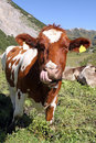Free Cow Stock Photos - 21004163