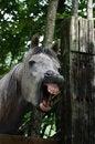 Free Yawning Horse Royalty Free Stock Photography - 21005967