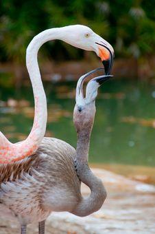 Free Flamingo Royalty Free Stock Photo - 21000095