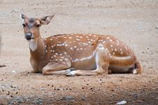 Free Fallow Deer Stock Photography - 21001012