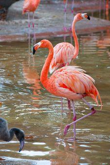 Free Flamingo Royalty Free Stock Photos - 21001168