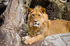Free Relaxing Lion. Royalty Free Stock Images - 21001809