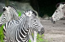 Free Two Zebras Posing Stock Image - 21001971