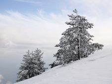 Pines On The Snow-covered Slope Stock Images