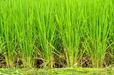 Free Rice Field Royalty Free Stock Photography - 21002747