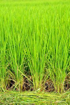 Free Rice Field Stock Photos - 21002823