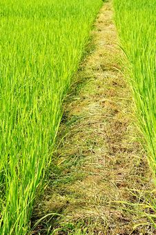 Free Rice Field Royalty Free Stock Photos - 21003458