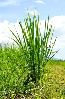 Free Rice Stock Image - 21003541