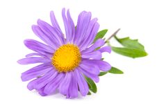 Free Aster Stock Image - 21003651