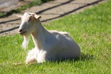 Free White Billy Goat Lying In Grass Stock Photography - 21004302