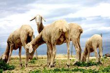 Free Sheeps Browsing Fresh Gras Stock Photography - 21004322