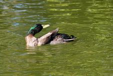 Free Mallard Duck Stock Photography - 21004422