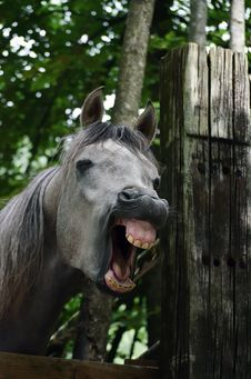 Free Yawning Horse Royalty Free Stock Photography - 21005967