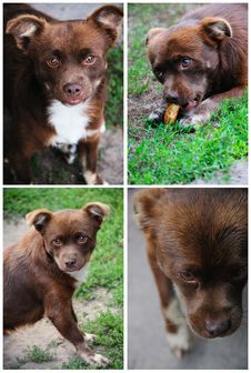 Free Collage Of Photos Of A Brown Dog Stock Photo - 21007430