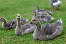 Free Baby Geese Lying On The Lawn Royalty Free Stock Images - 21007459