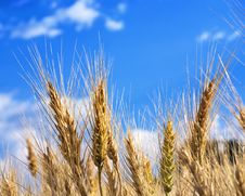 Free Wheat And Sky Stock Photography - 21008762