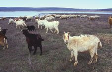 Free Goats And Sheep Royalty Free Stock Image - 21009066