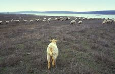 Goat And Flock Of Sheep Stock Photo