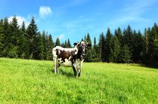 Free Cow Stock Images - 21009744