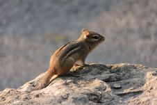 Free Chipmunk Stock Image - 21009961