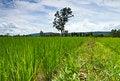 Free Lush Green Rice Field Royalty Free Stock Photos - 21010448