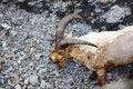 Free Goat Royalty Free Stock Photo - 21014805