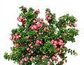 Free Christmas Evergreen Pernettya Plant Stock Photo - 21019890