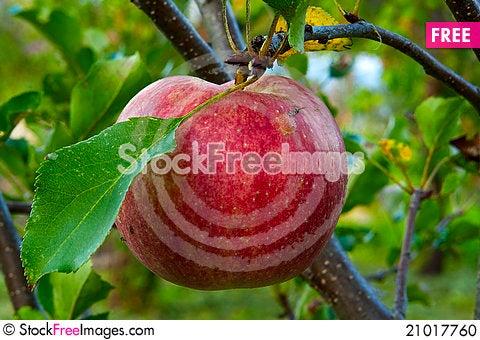 Free Apple Tree Stock Photo - 21017760