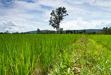 Free Lush Green Rice Field Royalty Free Stock Photos - 21010448
