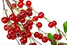 Free Branch Of Ripe Cherries Royalty Free Stock Photos - 21010568